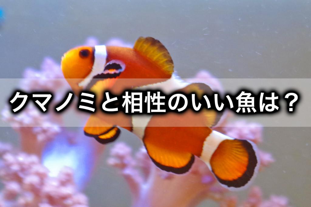 カクレクマノミと相性のいい魚と悪い魚は?海水魚混泳コツ