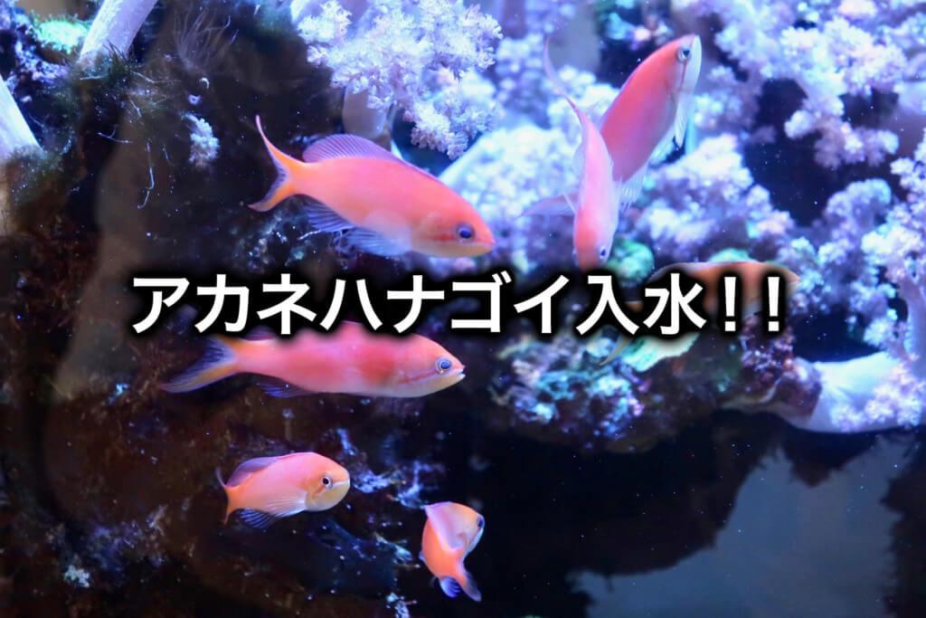 海水魚水槽にアカネハナゴイを投入!数は多めがおすすめ