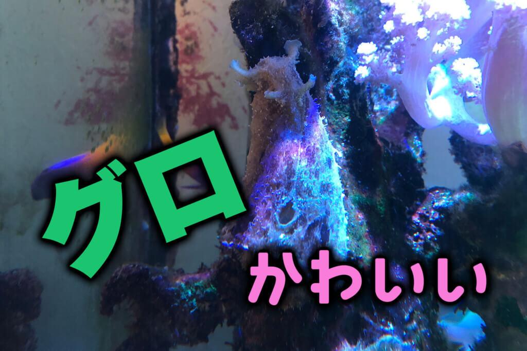 グロかわいいタツナミガイ!水槽の苔対策とマスコットキャラに!